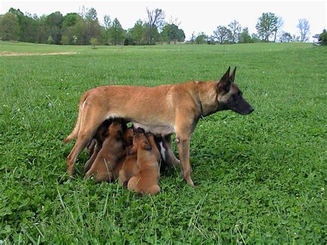 belgian malinois puppy price belgian malinois puppies for sale