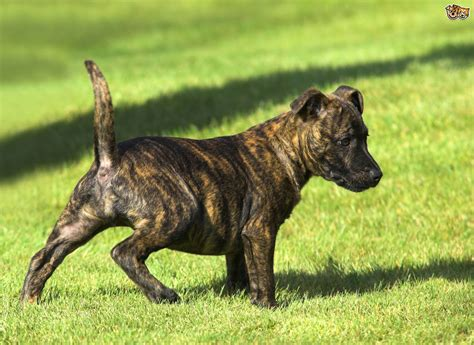 brindle colored dogs some gorgeous brindle breeds pets4homes