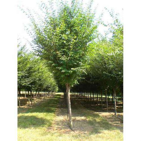 Zelkova Green Vase Tree by Hartland Farms Inc Zelkova Green Vase Zelkova Serrata Green Vase