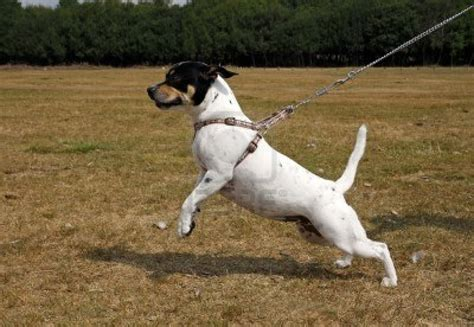 stop from pulling on leash how to stop your pulling on the leash the bowrain site