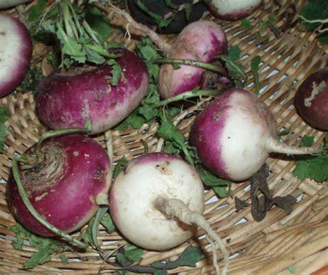 come si cucinano i ravanelli da tubero e orticole pagina 4 freeazzurra network forum