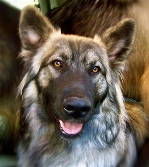 alsatian puppy of american alsatian photo and wallpaper beautiful of american alsatian