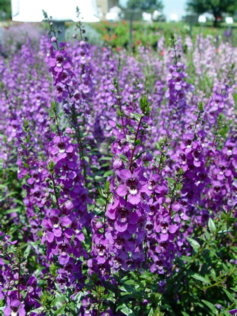 Angelonia Serena Mixed F1 The First Seed Grown Angelonia Purple Garden Flowers