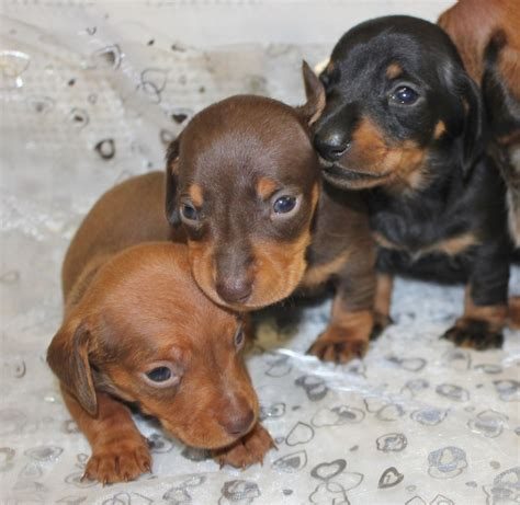 haired miniature dachshund puppies kc smooth haired miniature dachshund puppies orpington