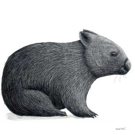 wombat tattoo designs 44 best wombats images on wombat