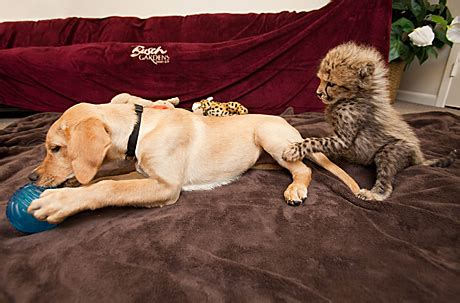 baby cheetah cub to become part of busch gardens cheetah busch gardens baby cheetah introduced to new canine friend