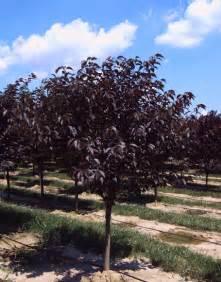 prunus royal burgundy tree tree love pinterest