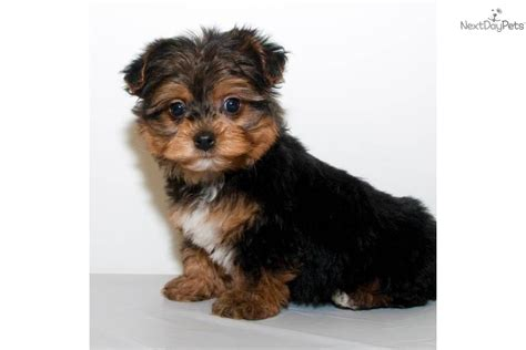 teacup yorkie poo white the gallery for gt white yorkie