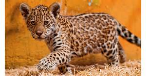 Names For Jaguars Spot The Differences Between Leopards Jaguars And