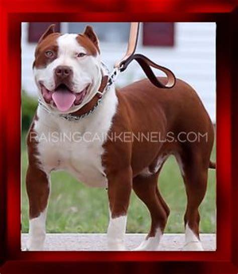 pitbull puppies for sale tx rck pitbull sebastien 1 jpg from raising cain kennels nose pitbull puppies for