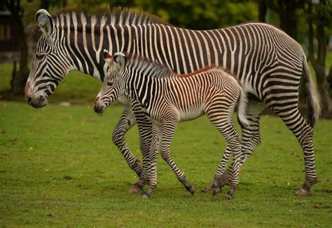 Baby Zebra baby zebra birth catches visitors by zoo news