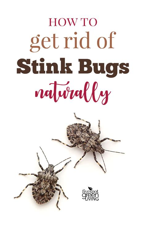 how to get rid of stink bugs in my house how to get rid of stink bugs naturally five spot green living