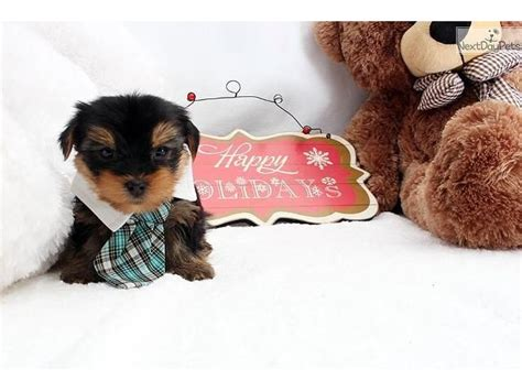 teacup yorkie breeders in arkansas teacup size yorkie puppies for adoption animals jonesboro arkansas