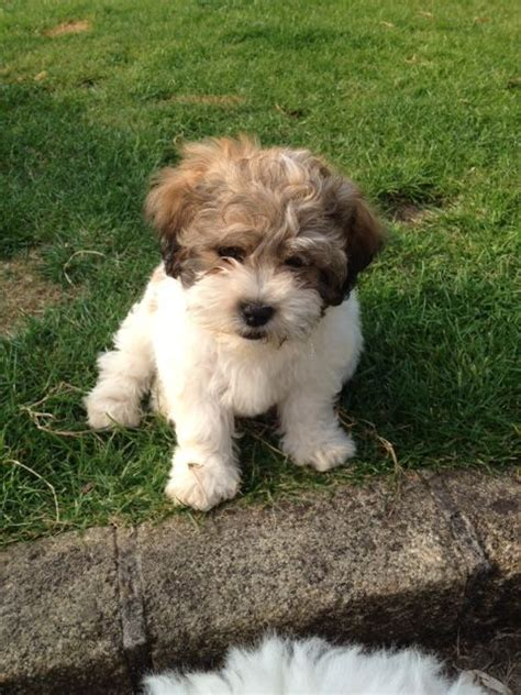 zuchon puppies for sale shichon zuchon puppies for sale breeds picture