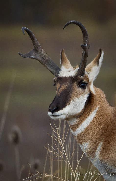 pronghorn antelope pronghorn antelope antilocapra america flickr