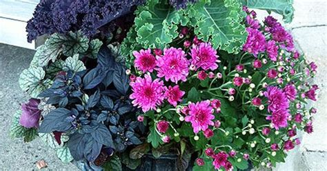 fall container planting fall urn ornamental kale mums