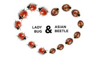 how to get rid of ladybugs asian beetles connor s pest