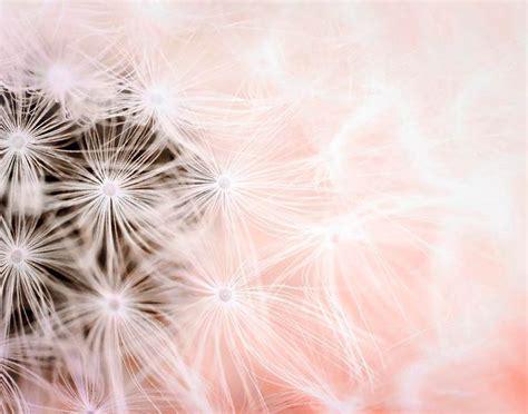 wallpaper pink dandelion pink dandelion print girl nursery decor dandelion wall