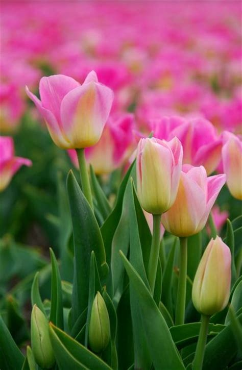 beautiful spring and pink tulips on pinterest