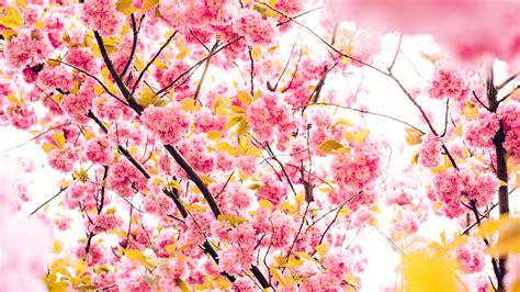 wallpaper 4k flower cherry flowers 4k 5k wallpapers hd wallpapers id 18849