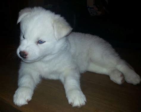 white husky puppy 3 stunning white husky puppies paisley renfrewshire pets4homes