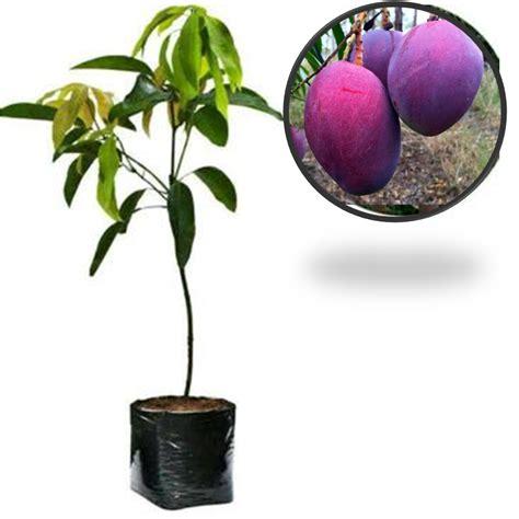 Harga Bibit Pohon Mangga Irwin 0823 2246 8111 jual bibit mangga irwin samudrabibit