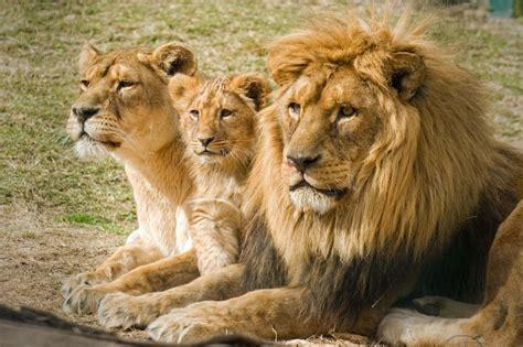 imagenes manada leones so 241 ar con leones
