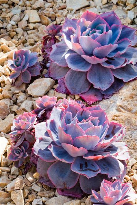 echeveria afterglow succulent plant fleshy leaves purple and pink desert drought tolerant i