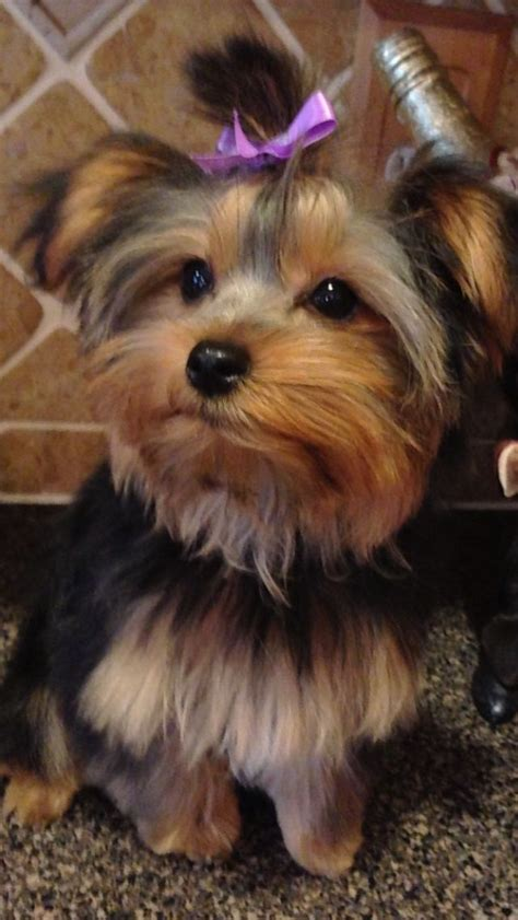 haircuts for female yorkies 39 best yorkie haircuts images on pinterest yorkie