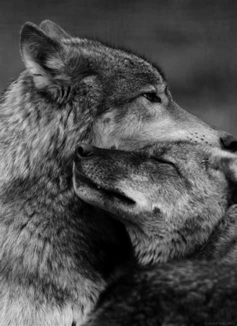 imagenes tumblr lobos lobos blanco y negro tumblr