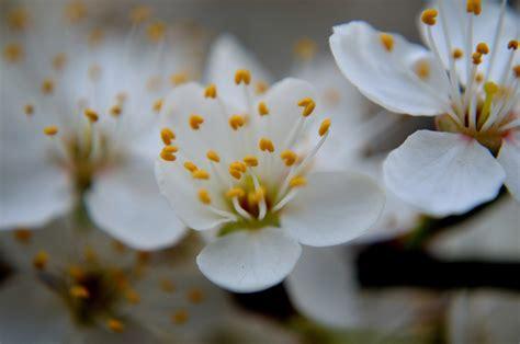 foto di fiori bianchi fiori bianchi immagine gratis domain pictures