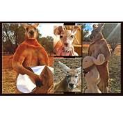 Roger The Kangaroo From Joey To Hey Joe  Communities