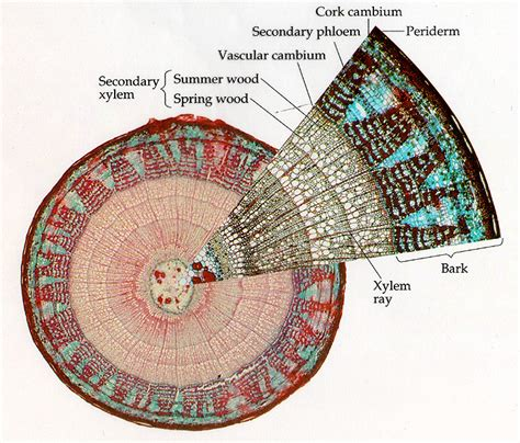 woody dicot stem cross section supporting tissues of woody dicotyledonous lesson 14 2 2