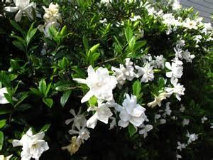 Gardenia In Gardenia Pbmgarden