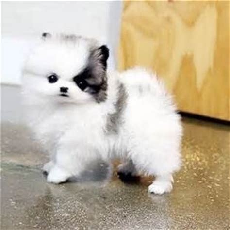 miniature pomeranian husky for sale chocolate micro mini pomeranian puppies mini pomeranian
