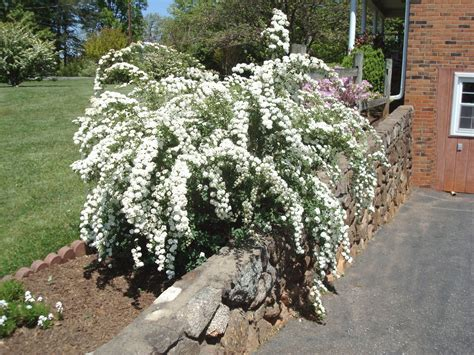 flowers and nature in my garden spirea japonica quot bridal