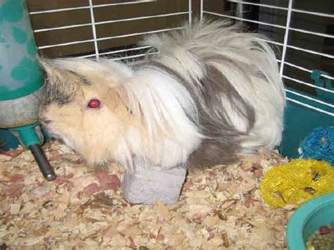 guinea pig bedding bulk adopt a guinea pig in pa nj ny wv pa montgomery county