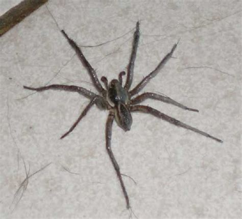 the australian wolf spider is it dangerous