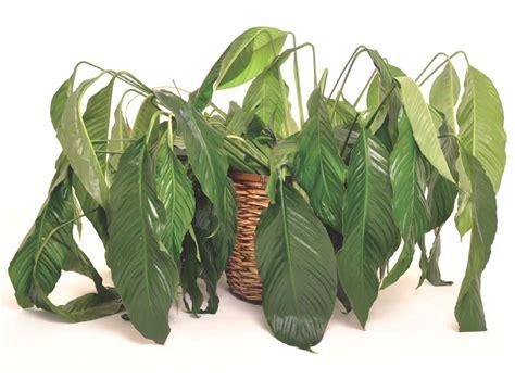 Sprei Bonita No 1 Rosemary plantas bonitas de interior fabulous plantas de interior