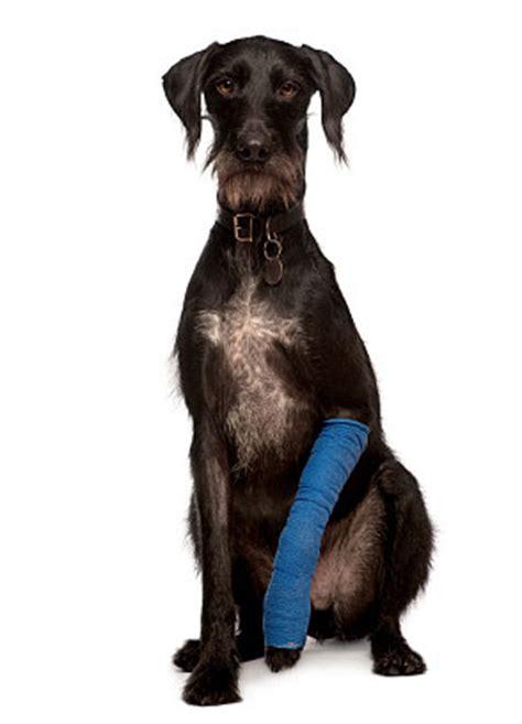 puppy sprained leg doggie strains and sprains the