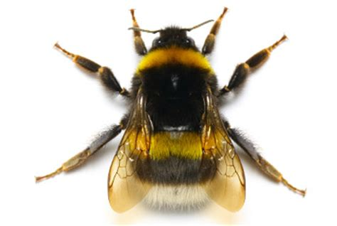 Home Library Lighting by Bumble Bee Habits Biology Control And Prevention
