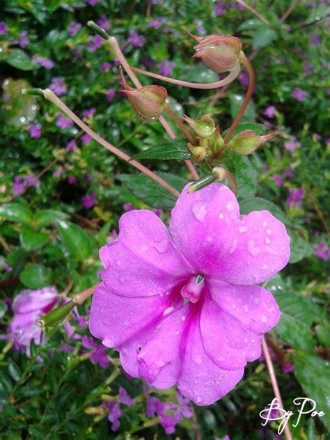 Dress Ungu Flower bunga semak warna ungu pink flowers picture by me