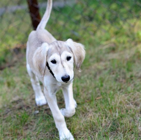 saluki puppy saluki pictures posters news and on your pursuit hobbies interests and