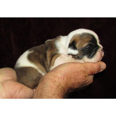 teacup bulldog puppies sale bulldog puppies for sale buy your bulldog puppy at