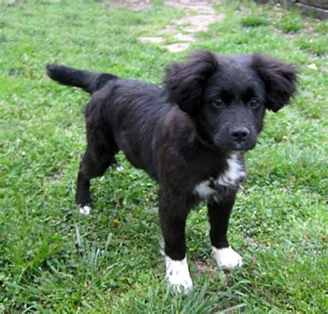 border doodle puppies for sale uk 17 best ideas about border collie poodle mix on