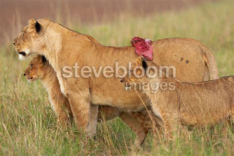 Nesa Shopp Aziza Syari Afka cubs and lioness with of flesh masai mara kenya