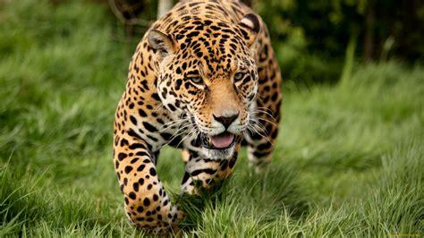 imagenes de jaguar hd jaguar full hd fondo de pantalla and fondo de escritorio