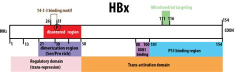 x protein hbv biotechr hbv x protein antagonism as a novel therapy