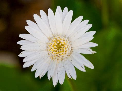 daisy facts april birth flower daisy proflowers blog