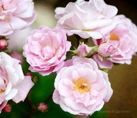 Climbing Plants For Clay Soil - 13 best images about garden rose shrub zone 9 on pinterest gardens superstar and yellow